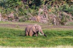 Krajobrazy Amboseli Słoń w bagnie Kenja, Afryka Fotografia Stock