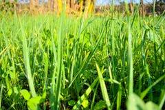 Krajowe czosnek rośliny Zdrowe i organicznie - zdjęcia royalty free