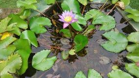 Krajowy nilmanel kwiat Zdjęcie Stock