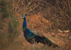Krajowy Ptasi paw zdjęcie royalty free