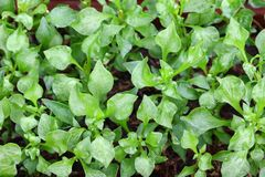 Krajowy Watercress (nasturci officinale) Zdjęcie Royalty Free