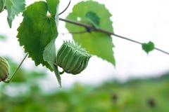 Kraju ślaz jest leczniczym rośliną używać taktować wiele choroby fotografia stock
