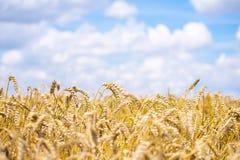 Kraju pszeniczny zbożowy pole Fotografia Royalty Free