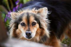 kraju szczekliwy pies domowy Kazakhstan Fotografia Stock
