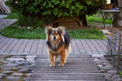 kraju szczekliwy pies domowy Kazakhstan Obrazy Royalty Free