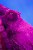 Krake im Aquarium Lizenzfreies Stockbild