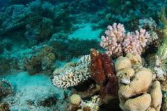 Krake im Korallenriff Stockfoto
