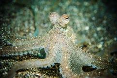 Krake ist bunaken Sulawesi Unterwasser Indonesien bewusst Stockfotografie