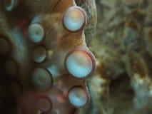 Krake Unterwasser Griechenland Lizenzfreies Stockbild