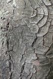 Krakingowa barkentyna koński cisawy drzewo Zdjęcie Royalty Free