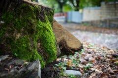 Krakingowa barkentyna stary drzewo przerastający z zielonym mech w jesieni lasowej Selekcyjnej ostrości Azerbejdżan obraz stock