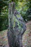 Krakingowa barkentyna stary drzewo przerastający z zielonym mech w jesieni lasowej Selekcyjnej ostrości Azerbejdżan obraz royalty free