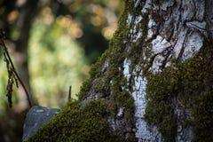 Krakingowa barkentyna stary drzewo przerastający z zielonym mech w jesieni lasowej Selekcyjnej ostrości Azerbejdżan obrazy royalty free