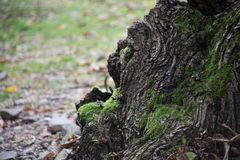 Krakingowa barkentyna stary drzewo przerastający z zielonym mech w jesieni lasowej Selekcyjnej ostrości Azerbejdżan zdjęcie royalty free