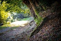 Krakingowa barkentyna stary drzewo przerastający z zielonym mech w jesieni lasowej Selekcyjnej ostrości Azerbejdżan obrazy stock