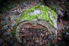 Krakingowa barkentyna stary drzewo przerastający z zielonym mech w jesieni lasowej Selekcyjnej ostrości Azerbejdżan zdjęcie stock