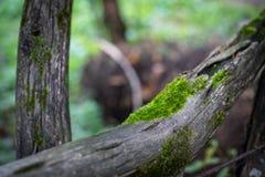 Krakingowa barkentyna stary drzewo przerastający z zielonym mech w jesieni lasowej Selekcyjnej ostrości Azerbejdżan zdjęcia stock