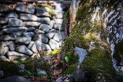 Krakingowa barkentyna stary drzewo przerastający z zielonym mech w jesieni lasowej Selekcyjnej ostrości Azerbejdżan fotografia stock