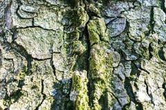 Krakingowa barkentyna stary drzewo przerastający z zielonym mech w jesieni lasowej Selekcyjnej ostrości obraz royalty free