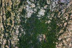 Krakingowa barkentyna stary drzewo przerastający z zielonym mech w jesieni lasowej Selekcyjnej ostrości fotografia stock