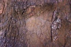 Krakingowa barkentyna stary drzewo przerastający z zielonym mech w jesieni lasowej Selekcyjnej ostrości zdjęcia royalty free