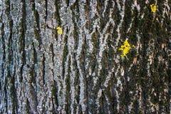 Krakingowa barkentyna stary drzewo przerastający z zielonym mech w jesieni lasowej Selekcyjnej ostrości zdjęcie royalty free