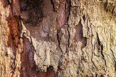 Krakingowa barkentyna stary drzewo przerastający z zielonym mech w jesieni lasowej Selekcyjnej ostrości fotografia royalty free