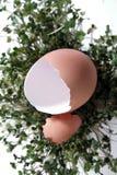 krakingowa trawy jajeczna sprout zielone Zdjęcia Royalty Free