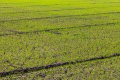 Krakingowe zielone ryżowe rozsady Zdjęcie Stock