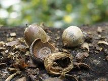 Krakingowi otwarci acorns na fiszorku obrazy royalty free