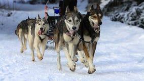 Sled dog race Stock Images