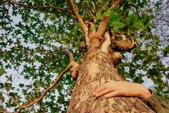 Krama ett stort träd och att symbolisera anslutningen mellan människor och naturen royaltyfria bilder