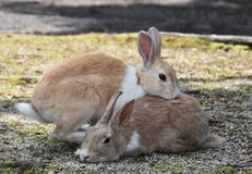 Krama för två kaniner Royaltyfria Foton