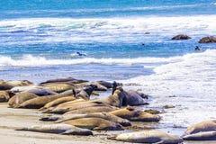 Krama unga manliga sjölejon på den sandiga stranden koppla av Royaltyfri Foto
