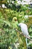 Krameri ожерелового попугая длиннохвостого попугая зеленого цвета и белой розы окружённое Стоковое Фото
