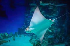 Kramp-fisk i blått vatten Stingrockan är en plan marin- fisk Strålskridskodjup-vatten fisk Slapp fokus Simma för stingrocka som ä Arkivfoto