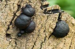 Krampen klumpa ihop sig svampar Royaltyfri Bild