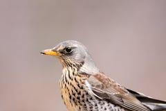 Kramsvogel royalty-vrije stock fotografie