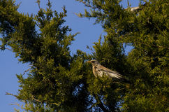 Kramsvogel Stock Foto