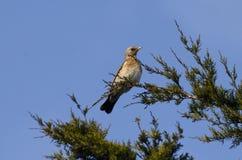 Kramsvogel Royalty-vrije Stock Afbeelding