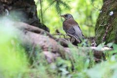 Kramsvogel Stock Afbeeldingen