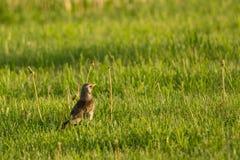Kramsvogel Royalty-vrije Stock Foto