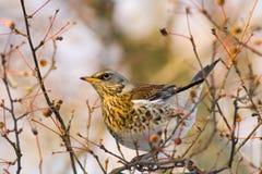 Kramsvogel op de winterdag Stock Fotografie