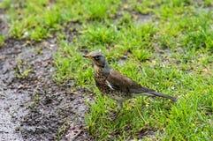 Kramsvogel op een weide Royalty-vrije Stock Foto's