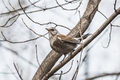 Kramsvogel, pilaris Turdus Royalty-vrije Stock Afbeelding
