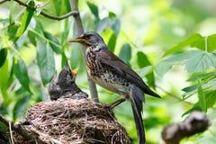 Kramsvogel, pilaris Turdus Royalty-vrije Stock Fotografie