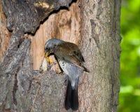 Kramsvogel, pilaris Turdus Stock Fotografie