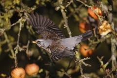 Kramsvogel, Turdus-pilaris royalty-vrije stock afbeelding