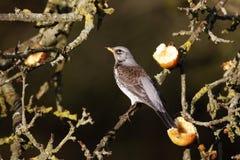 Kramsvogel, Turdus-pilaris royalty-vrije stock foto