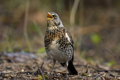 Kramsvogel, turduspilaris Stock Afbeeldingen